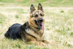 Hond die op een grasgebied rust Royalty-vrije Stock Foto's