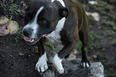 Hond die op een landbouwbedrijf lopen Stock Foto's