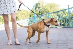 Hond die op een leiband trekken stock foto