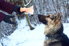 Hond die op een stuk speelgoed wacht Royalty-vrije Stock Foto