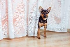 Hond die op een vloer zich thuis bevinden Stock Foto's