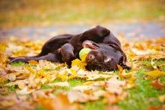 Hond die op gevallen bladeren rollen stock afbeelding