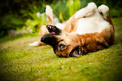 Hond die op gras rollen Stock Foto