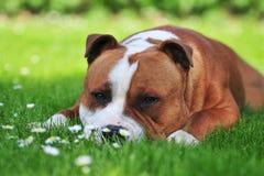 Hond die op het gazon legt royalty-vrije stock foto