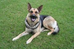 Hond die op het gras legt Stock Afbeelding