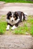 Hond die op het gras ligt Royalty-vrije Stock Fotografie