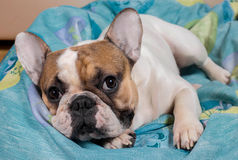 Hond die op het hoofdkussen ligt royalty-vrije stock afbeeldingen