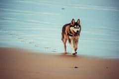 Hond die op het strand in de zomer lopen Royalty-vrije Stock Fotografie