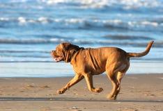 Hond die op het strand loopt Stock Foto