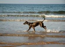 Hond die op het strand loopt stock afbeeldingen