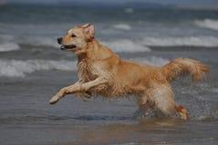 Hond die op het strand lopen Royalty-vrije Stock Fotografie