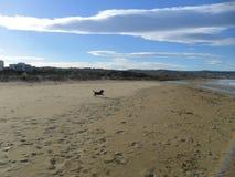 Hond die op het strand lopen Royalty-vrije Stock Afbeeldingen