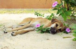 Hond die op het zand in de bloemen liggen Royalty-vrije Stock Afbeelding