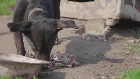 Hond die op ketting been eten dichtbij het hondehok stock footage