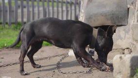 Hond die op ketting been eten dichtbij het hondehok stock videobeelden