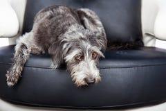 Hond die op meubilair met Pawprint leggen Royalty-vrije Stock Afbeeldingen