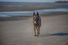 Hond die op strand loopt stock foto