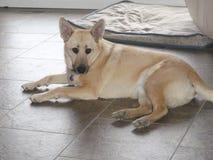 Hond die op vloer leggen Royalty-vrije Stock Foto
