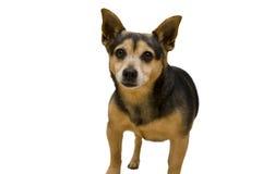Hond die op witte achtergrond wordt geïsoleerdb Royalty-vrije Stock Fotografie