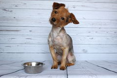 Hond die op zijn rantsoen naast zijn kom van croquet met aandacht wachten stock foto's