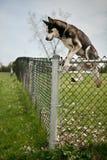 Hond die over een openluchtomheining van het hondpark springen stock foto