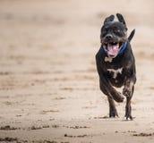Hond die over een strand met voorbenen van de grond galopperen Royalty-vrije Stock Foto