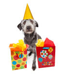 Hond die Partijhoed met Verjaardagsgiften dragen Stock Foto