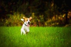 Hond die pret hebben die naar camera met tong uit naar camera in de zomerdag op weidegebied lopen stock afbeeldingen