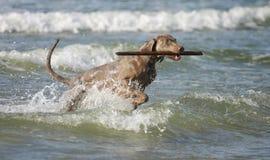 Hond die pret in het water hebben Stock Afbeelding