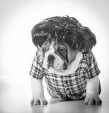 Hond die pruik draagt Royalty-vrije Stock Afbeeldingen