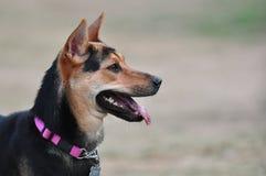 Hond die recht bekijkt royalty-vrije stock afbeelding
