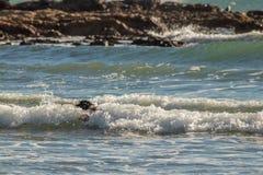 Hond die in reeks van drie kleine golven zwemmen stock afbeelding