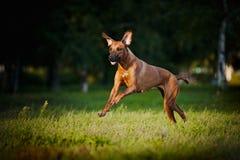 Hond die ridgeback loopt Stock Afbeeldingen