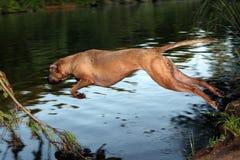 Hond die in Rivier springen Stock Foto