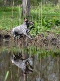 Hond die in rivier springt Royalty-vrije Stock Afbeeldingen