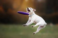 Hond die schijf in sprong vangen stock fotografie