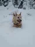 Hond die in sneeuw leggen Royalty-vrije Stock Fotografie