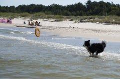 Hond die terugwinnend een stuk speelgoed in het overzees lopen stock fotografie