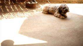 Hond die (Tibetaans Terrier) koelen stock footage