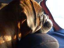 Hond die uit het autoraam kijken Stock Afbeeldingen