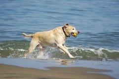 Hond die uit van Baai 3 loopt van San Francisco stock fotografie