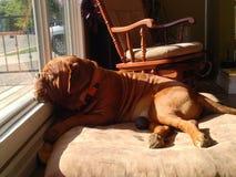 Hond die uit venster kijkt Stock Afbeelding