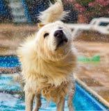 Hond die uit water bespatten Stock Afbeeldingen
