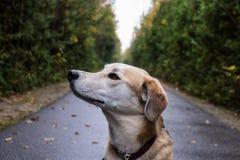 Hond die vanaf camera kijken stock afbeelding