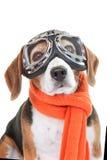 Hond die vliegende glazen of beschermende brillen dragen Stock Afbeeldingen