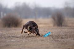 Hond die Vliegende Schijf vangen Stock Foto