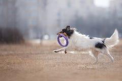 Hond die Vliegende Schijf vangen Stock Foto's