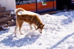 Hond die voedsel op de sneeuw behandelde straten zoeken Stock Foto's