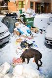 Hond die voedsel op de sneeuw behandelde straten zoeken Stock Afbeeldingen