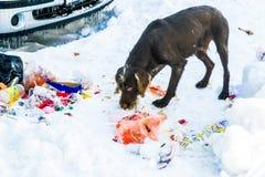 Hond die voedsel op de sneeuw behandelde straten zoeken Stock Afbeelding